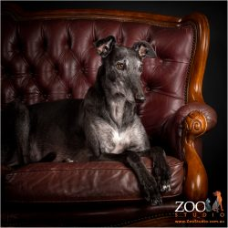 regal looking greyhound sitting in  chair