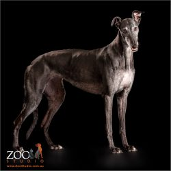 black and grey greyhound standing tall