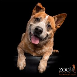 Red Cattle Dog smiling with a head tilt.