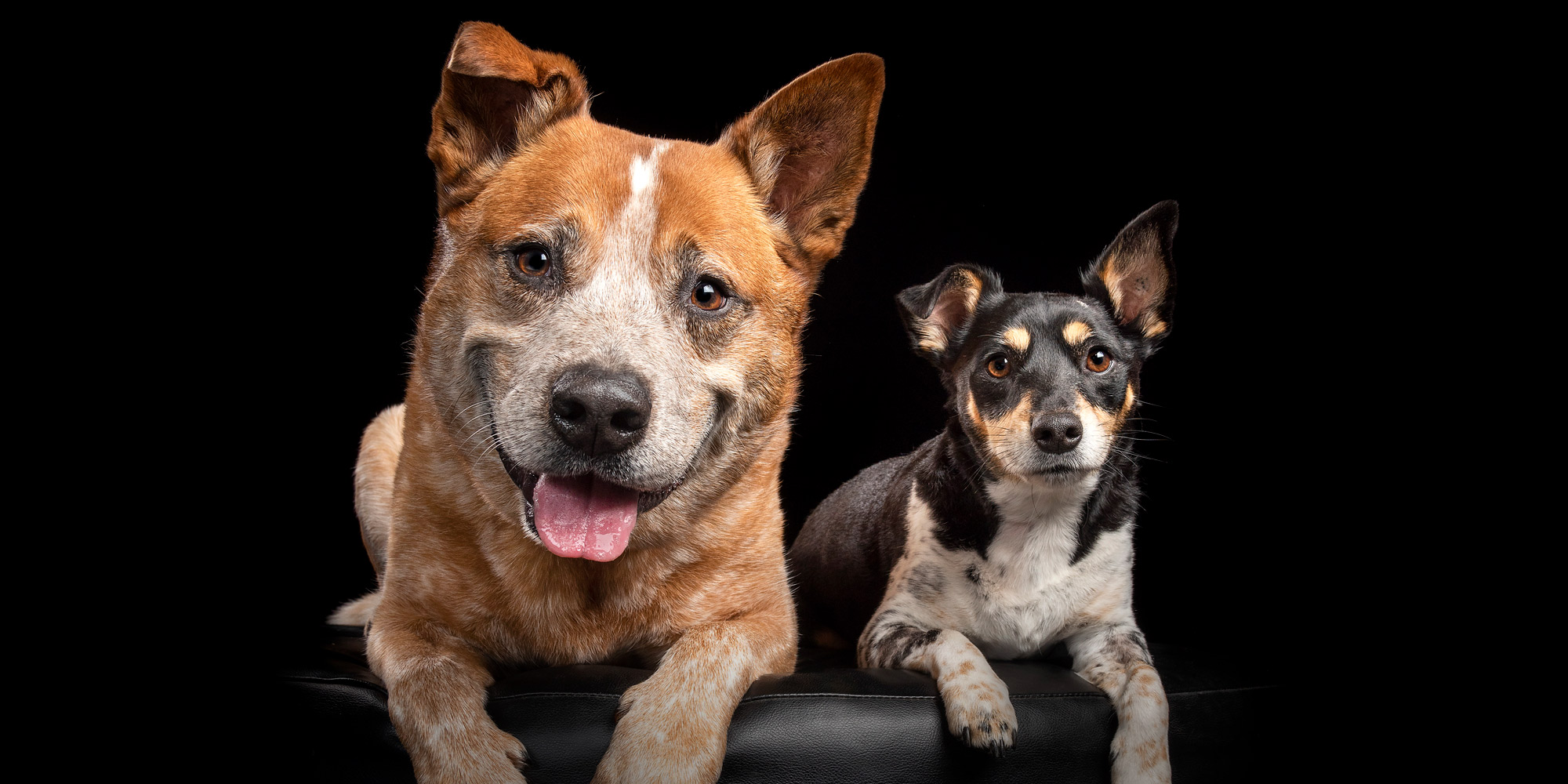 Red Cattle Dog and Jack Russell together.