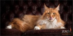 Beautiful Maine Coon relaxing on a sofa.