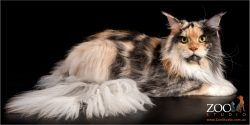 Striking multi-coloured Maine Coon resting.