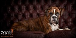 Boxer resting on a sofa.