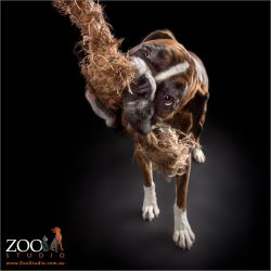 Boxer playing with a rope tug toy.