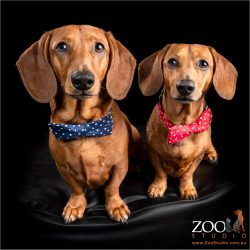 Two adorable Dachshunds sitting on an ottoman.