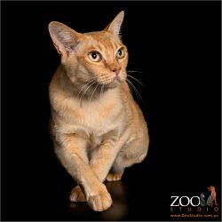 Beautiful Burmese cat.