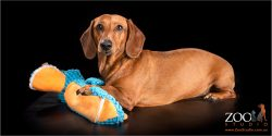 Cute Dachshund playing with a toy.