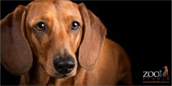 Gorgeous close up of a dachshund.