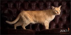 Cute Burmese cat standing on a couch.