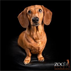 Beautiful Dachshund staring intently at the camera.