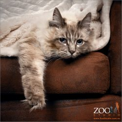 Cute grey cat with blue eyes laying down on a couch.