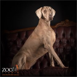 Beautiful Weimaraner sitting on couch.