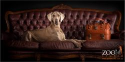 Gorgeous Weimaraner relaxing on sofa.