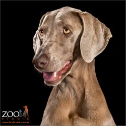 Pretty Weimaraner looking adorable.