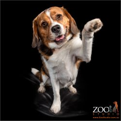 Beautiful Beagle lifting his paw up.