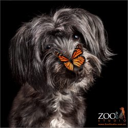 Maltese x Silky Terrier with a butterfly on his nose.