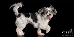 Maltese x Silky Terrier walking with tongue out.