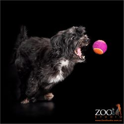 Gorgeous Maltese x Silky Terrier playing with a ball.