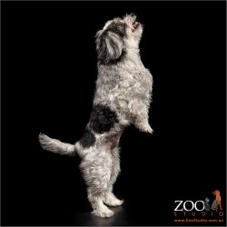 Beautiful Maltese x Silky Terrier jumping.
