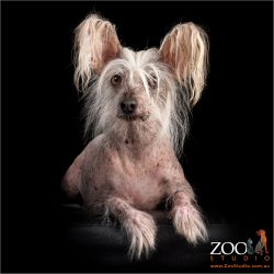 Gorgeous Chinese crested dog laying on an ottoman.