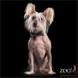 Sweet Chinese Crested dog sitting.