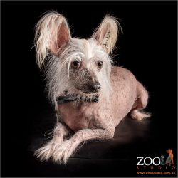 Cute Chinese Crested dog relaxing.