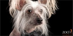 Adorable close up of Chinese crested dog.