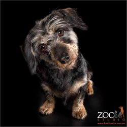 Gorgeous Mini Dachshund cross terrier with head tilt.