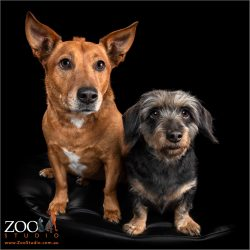 Mini Dachshund cross Terrier with a Dachshund cross Ridgeback.