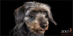Adorable look from a Mini Dachshund cross Terrier.