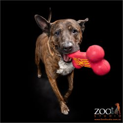 Gorgeous Cattle Dog cross Staffy playing with a red toy.