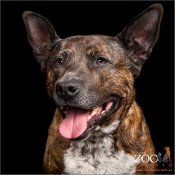 Close up of beautiful Cattle Dog cross Staffy.