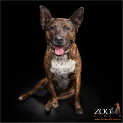 Adorable Cattle dog cross Staffy sitting pretty.