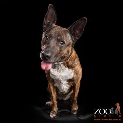 Cute Cattle Dog cross Staffy sitting pretty.