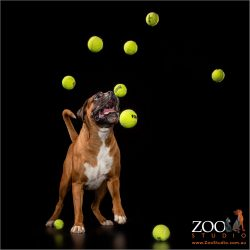 Gorgeous Boxer playing with tennis balls.