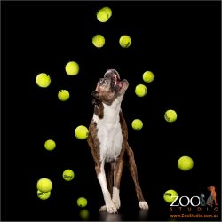 Adorable Boxer playing with tennis balls.