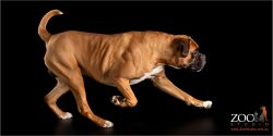 Lovely Boxer on the move.