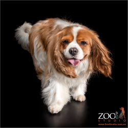 Beautiful King Charles Cavalier Spaniel wandering.