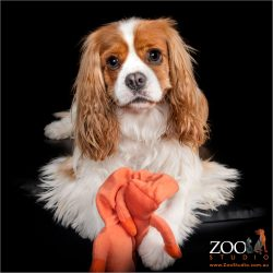 Gorgeous Cavalier King Charles Spaniel playing with his toy.