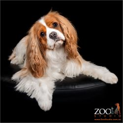 Adorable Cavalier king Charles Spaniel relaxing.