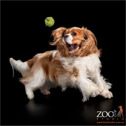 Sweet Cavalier King Charles Spaniel playing with his ball.