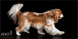 Lovable Cavalier King Charles Spaniel on the move.