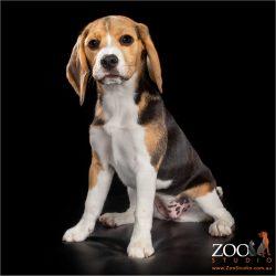 Beautiful Beagle puppy sitting pretty.