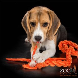 Adorable Beagle puppy playing with a toy rope.