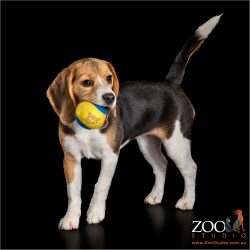 Lovable Beagle puppy playing with a ball.