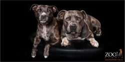Two gorgeous Staffies relaxing together.