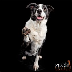 Beautiful Border Collie lifting her paw.