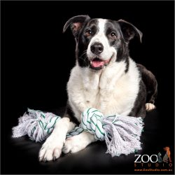Gorgeous Border Collie relaxing with her rope toy.