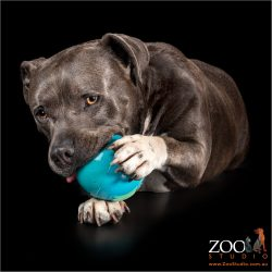 Adorable Staffy palying with a toy.