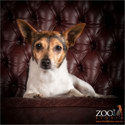 Gorgeous Tenterfield terrier relaxing on a couch.